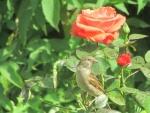 Tuin.Roos.jpg